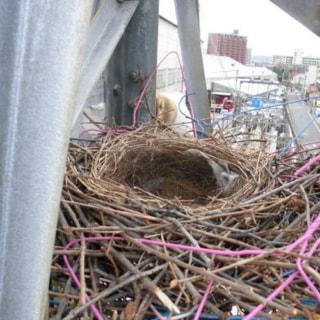 高所鳥類巣(非活動)撤去作業